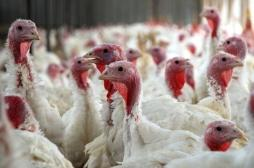 Maine-et-Loire : un foyer de grippe aviaire détecté