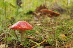 Intoxications: alerte aux champignons