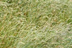 Allergies : la carte de France des graminées
