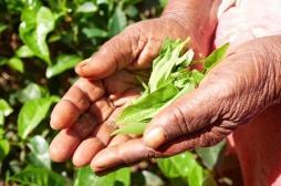Le thé noir favoriserait la perte de poids