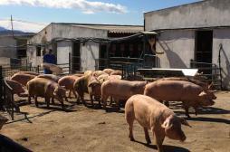 Embryons : des chimères humain-porc conçues par des chercheurs