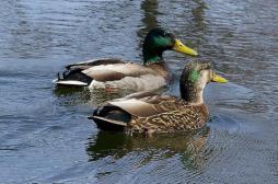 Grippe aviaire : 47 foyers dans les élevages du sud-ouest