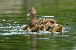 Grippe aviaire : abattage préventif étendu à près de 700 communes