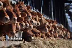 Antibiotiques : l'usage pour le bétail encadré