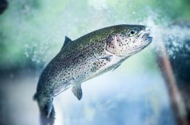La truite nous en apprend plus sur notre microbiote