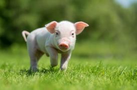 Des coeurs de porcs transplantés à l'Homme d'ici à trois ans?