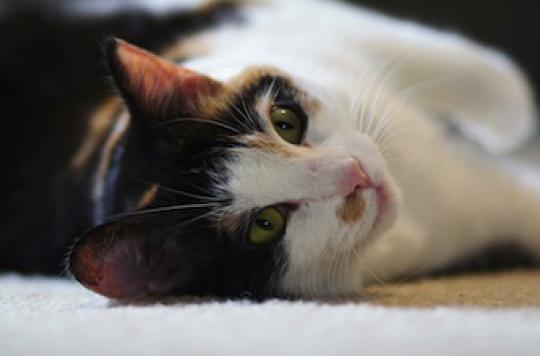 Allergie au chat : un traitement pourrait voir le jour
