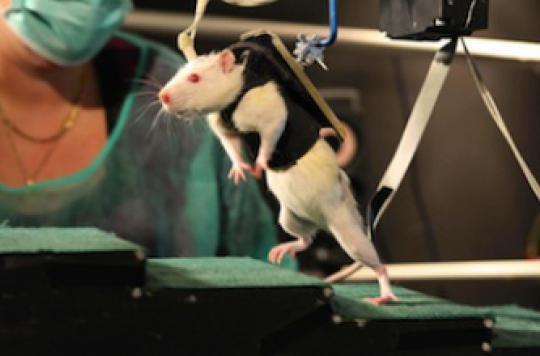Des chercheurs ont réussi à faire marcher des rats paralysés