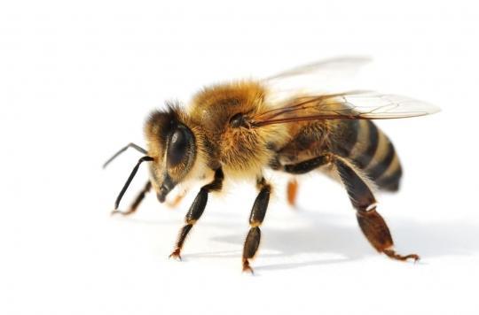 Que faire après une piqûre d'abeille ?