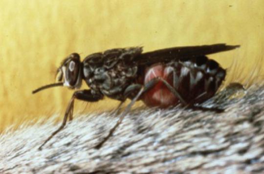 Maladie du sommeil : le code génétique de la mouche tsé-tsé décrypté