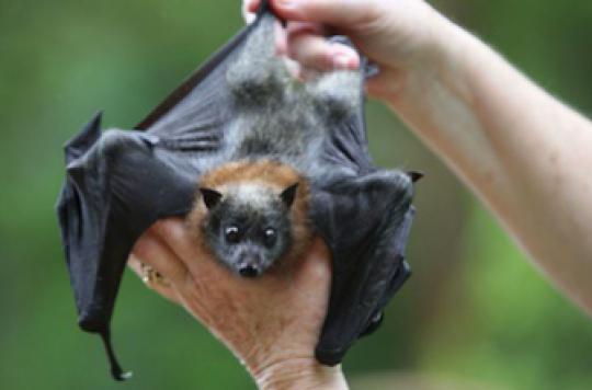 Ebola : la chauve-souris soupçonnée d'être l'espèce-réservoir du virus
