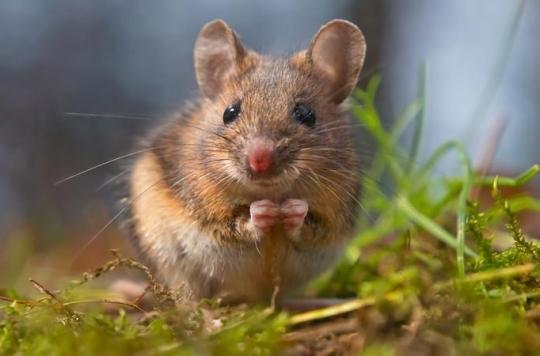 Cécité : la thérapie génique a redonné la vue à des souris