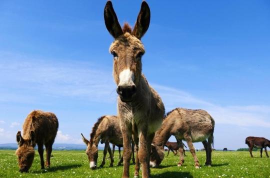 Une thérapie avec des ânes pour apaiser les soignants