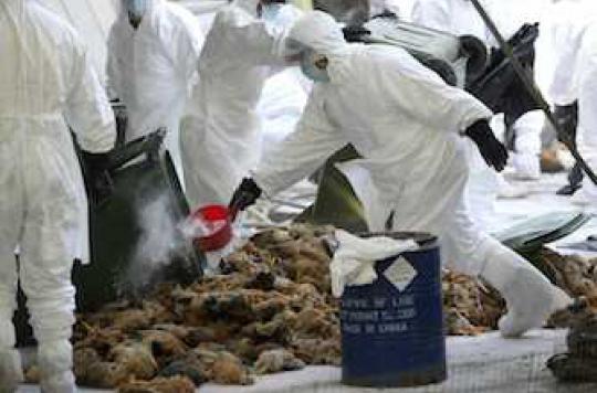 Grippe aviaire : la France renforce les mesures de surveillance