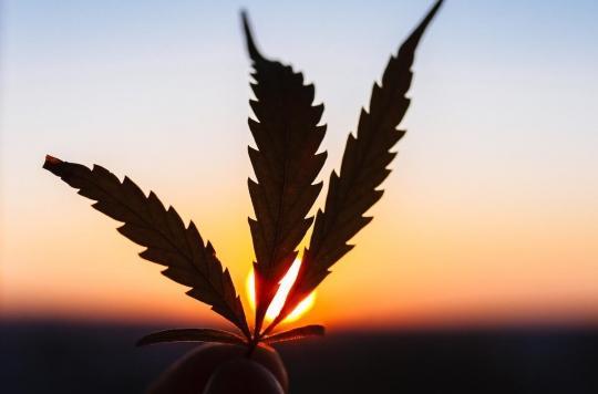 Cannabis : toxique ... mais moins que le tabac