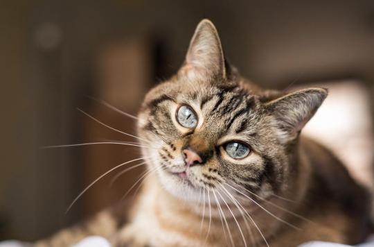 Coronavirus : un deuxième chat testé positif