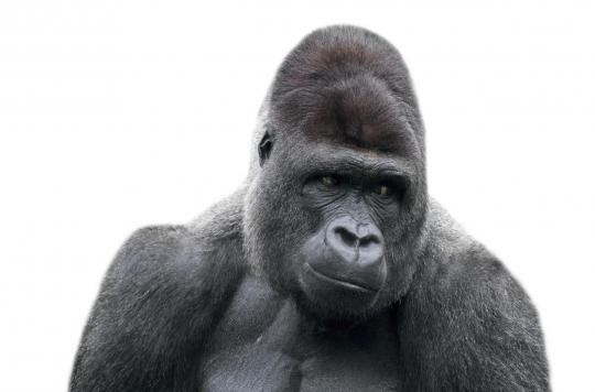 Etats-Unis : des singes du zoo de San Diego vaccinés contre la Covid-19