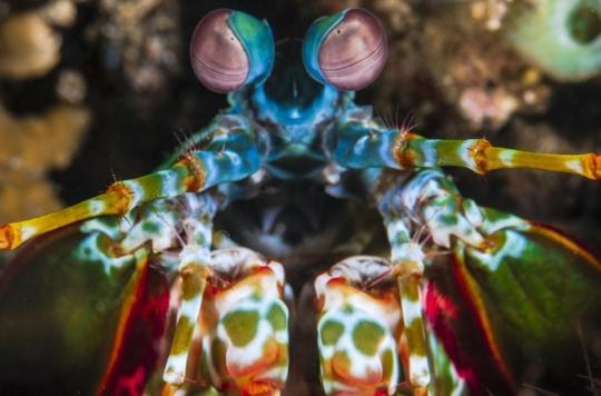 Les yeux de cette crevette bizarre révolutionnent le traitement du cancer
