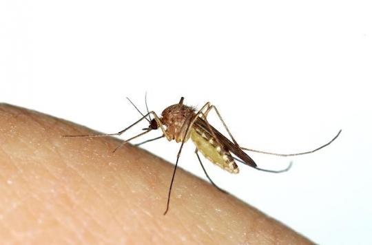 Moustique Culex : que faire si le virus du Nil Occidental revient en France cet été ?