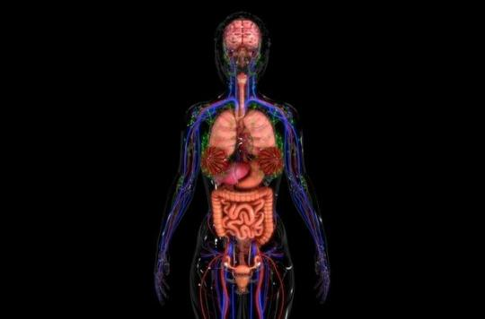 L'interstitium, le nouvel organe du corps humain est aussi le plus grand