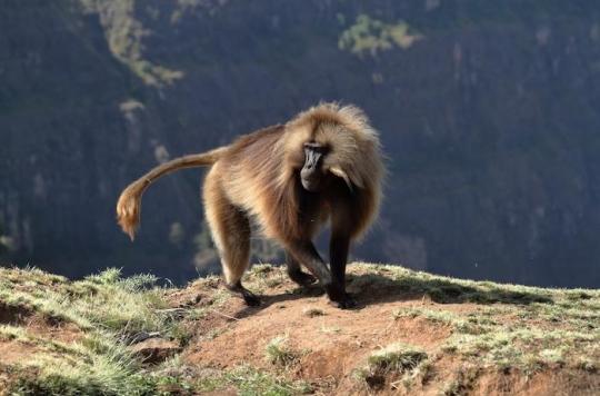 Greffe : deux babouins survivent plus de 6 mois avec un coeur de cochon