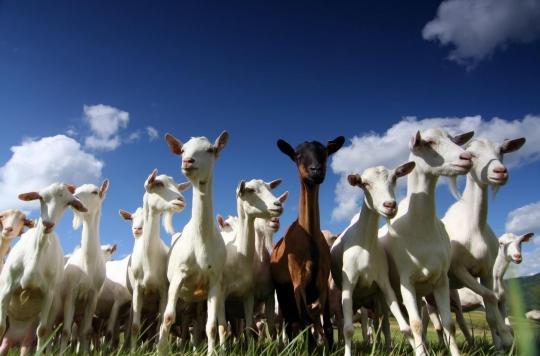 Cancer: des chèvres génétiquement modifiées pour fabriquer des médicaments dans leur lait