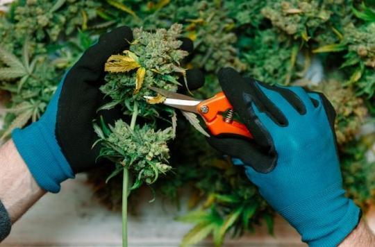 Cannabis thérapeutique : l'agence du médicament favorable à l'expérimentation d'ici fin 2019