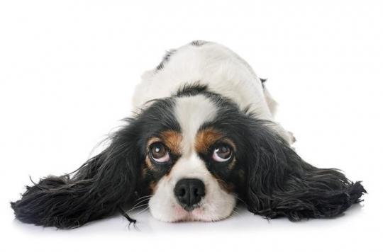 Des chiens détectent le paludisme en reniflant des chaussettes sales