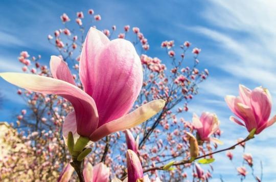 Un composé d'écorce de magnolia pour traiter l'épilepsie