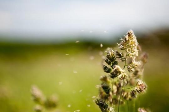 Ambroisie : pic important de pollinisation à Lyon ce week-end