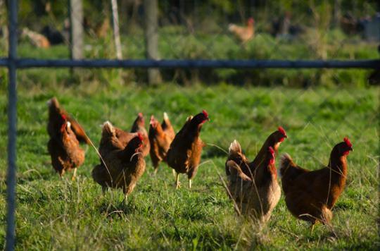 Grippe aviaire : l'exportation des volailles interdite