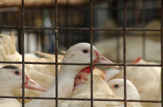 Grippe aviaire : les éleveurs des Landes privés d'exportation