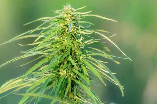 Cannabis thérapeutique : l'Allemagne donne son feu vert
