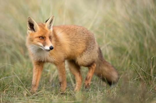 Maladie de Lyme : les renards à la rescousse