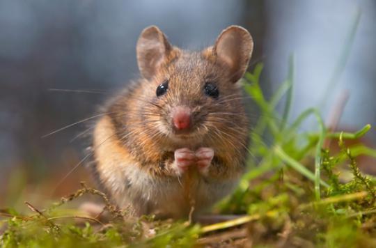 Stimulation cérébrale : des souris transformées en féroces prédateurs