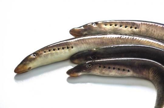 Les gènes qui permettent de réparer la moelle épinière chez un poisson existent aussi chez l'homme