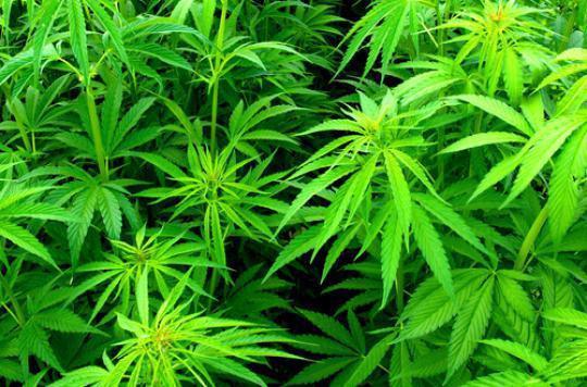 Anxiété : le cannabis pourrait renforcer les symptômes