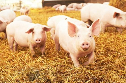 Des chercheurs ont réussi à réactiver des cellules cérébrales de porcs morts
