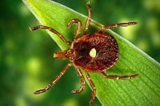 Maladie de Lyme : une infection bactérienne difficile à diagnostiquer